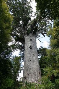 58_waipoua_kauri_tree