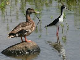 duck and stilt