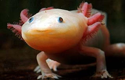 axolotl-mexican-walking-fish-06