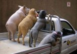 dogs_sheep__pig_in_ute