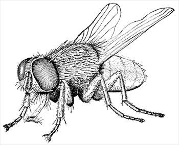 housefly-2