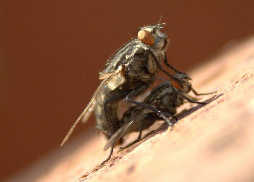 mating-flies-1352148 (1)